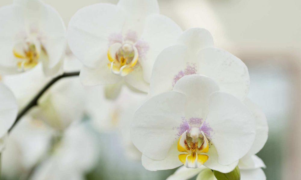 Les variétés d'orchidées à découvrir