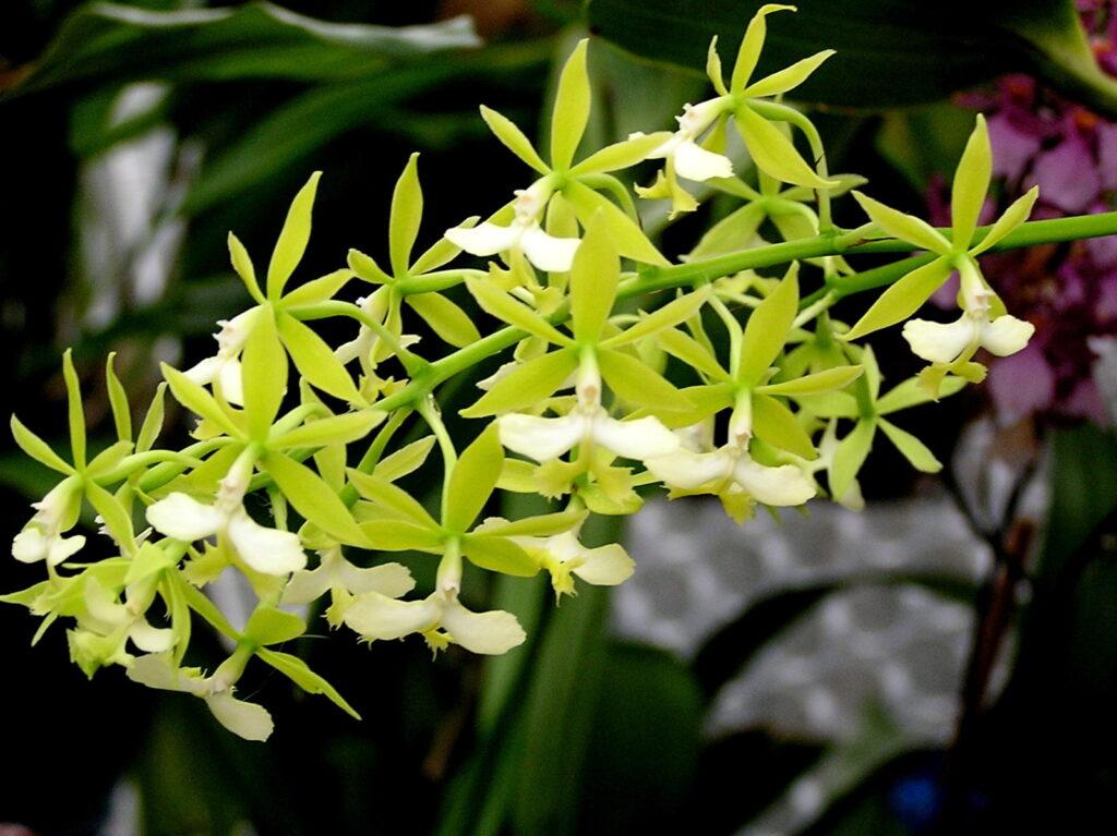 La variété Epidendrum