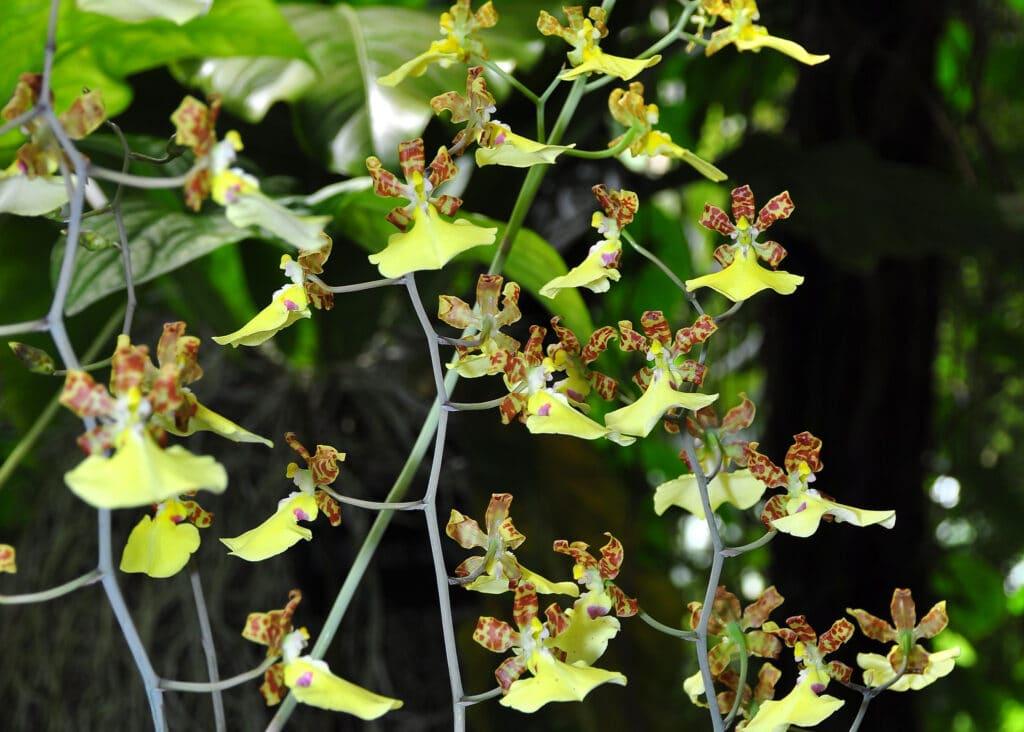 La variété oncidium d'orchidée
