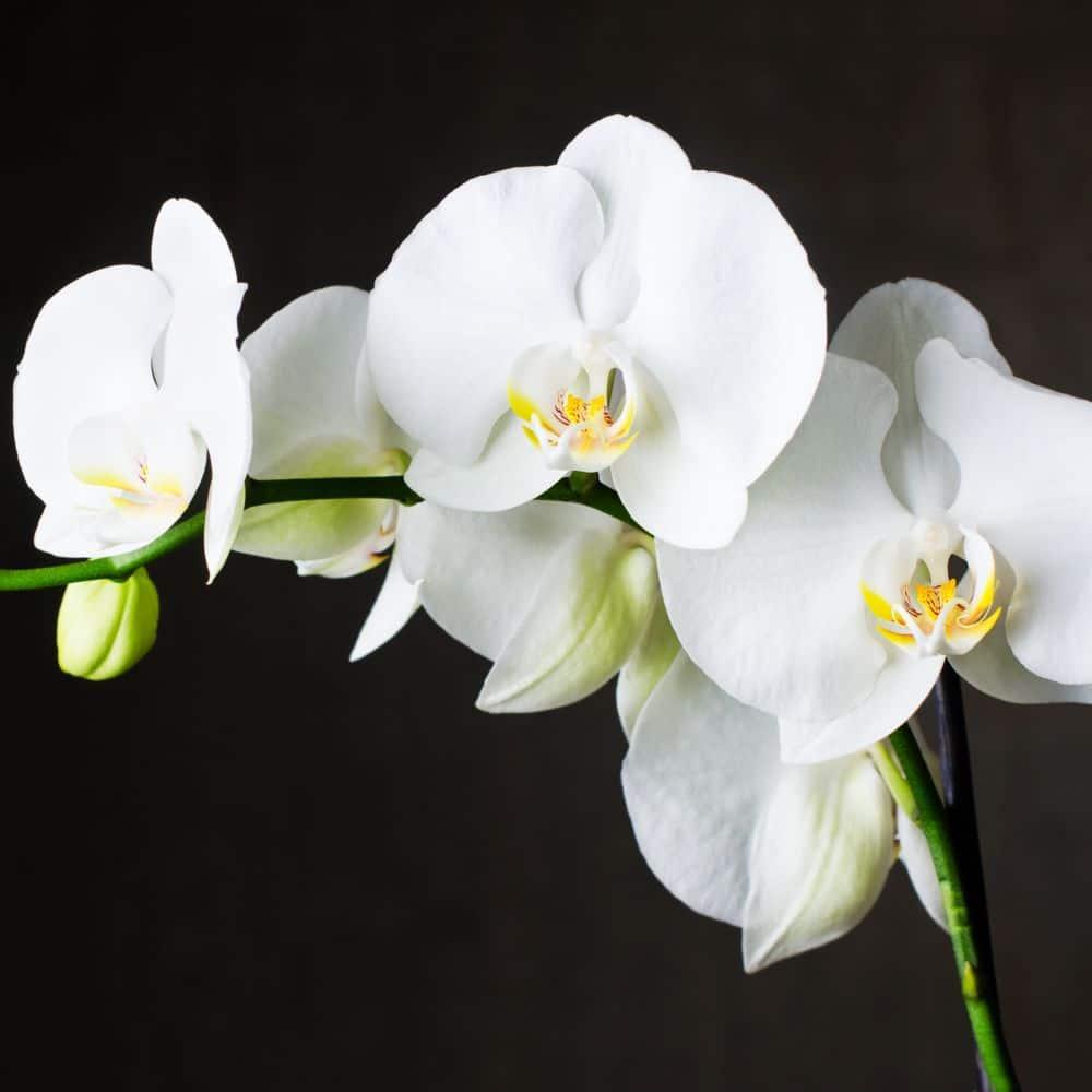 Une orchidée très populaire